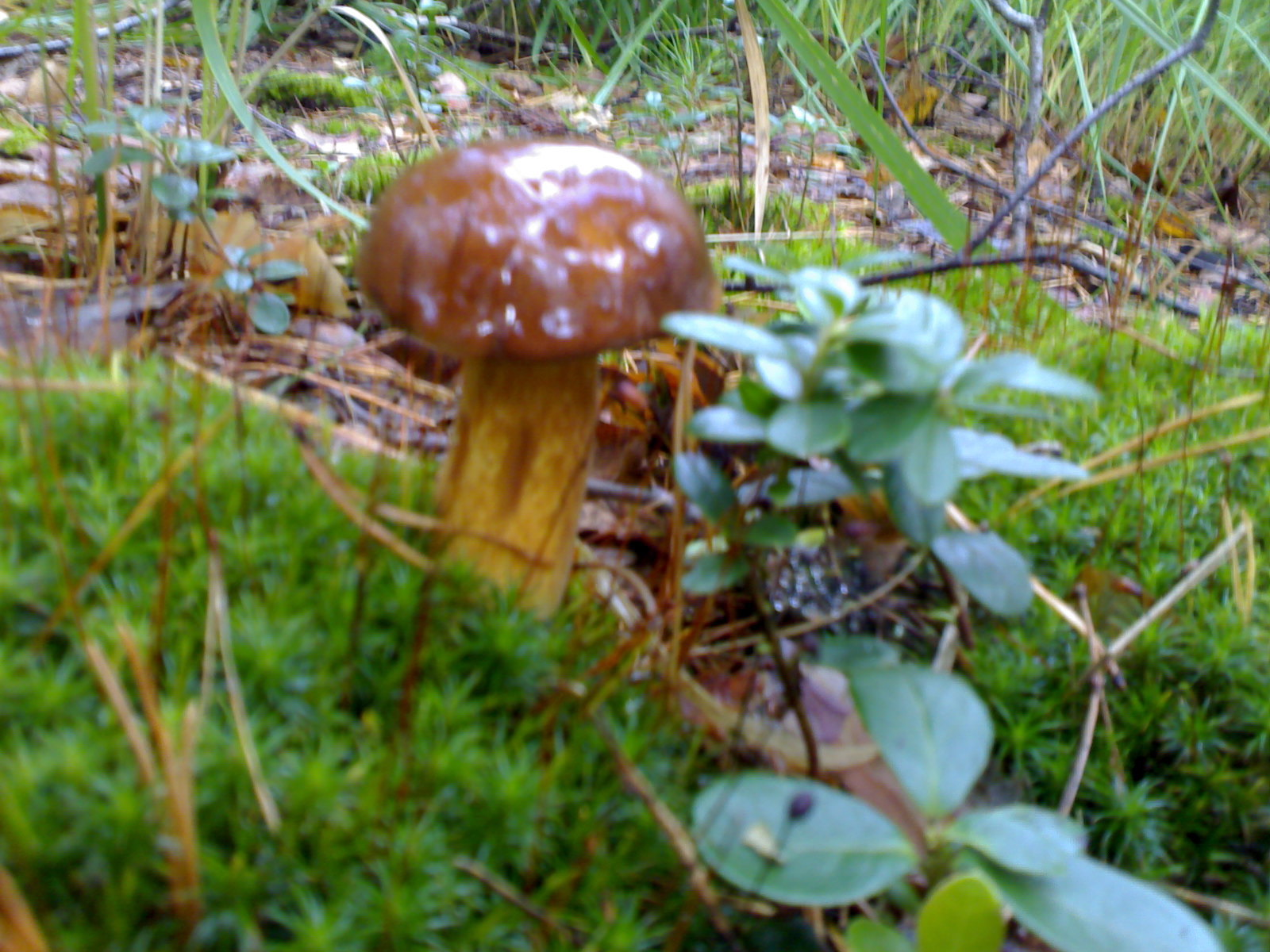 Съедобные грибы центрального черноземья с фото